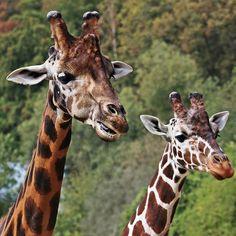 Blog trochu stagnuje, zčásti kvůli prázdninám, ale hlavně kvůli potřebě vyřešit problémy s doménou - tak prozatím pošlu pro radost aspoň zvědavé žirafy ze zoo v Jihlavě :-) #giraffes #zoo #jihlava #zoojihlava #animals #animal #giraffe Korn, Giraffe, Spices, Animals, Instagram, Felt Giraffe, Spice, Animales, Animaux