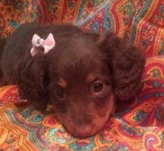 WARNING: cuteness overload! gah!! ->I Love Dachshunds: This is baby Coco loved by: Garianne Armour