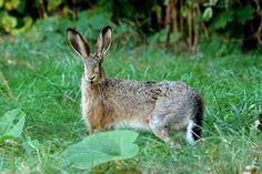 melangell hares - Google Search