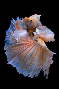 Betta fist are a fun beautiful fish that many people can have in their home with minimal effort. Pretty Fish, Beautiful Fish, Animals Beautiful, Cute Animals, Betta Fish Types, Betta Fish Tank, Beta Fish, Colorful Fish, Tropical Fish