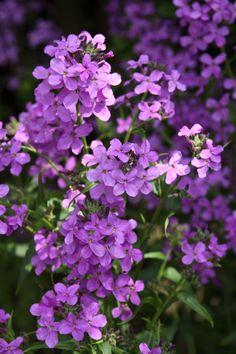 Damastbloem (Hesperis matronalis) of nachtviolier, ruikt heerlijk en licht op in het avondlicht. Trekt vlinders aan. Zaait behoorlijk uit en staat mooi in een natuurlijke,romantische (bos)tuin.