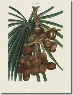 Cluster of Date Palms, from our Book Illustration Collection Plant Illustration, Botanical Illustration, Phoenix Dactylifera, Floral Rosa, Palm Plant, Plant Vector, Image Paper, New York Public Library, Pallets