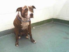 09/10/2016 SUPER URGENT Miami-dade Shelter - TO BE DESTROYED - ADOPT Diva, 4 year old female brown and white American Bulldog, spayed, Intake Date 05/28/2016.