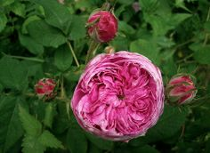 Gallica rose 'Aimable Amie'
