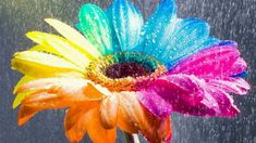 Awesome wallpaper of Wallpaper Multicolor Daisy, resolution 1920 x type Nature Flowers Leaves Falls Flashlights Awesome, for Desktop of your PC. Beautiful wallpaper free for you! Flowers Wallpaper, Hd Flowers, Sunflower Wallpaper, Rainbow Flowers, Of Wallpaper, Colorful Flowers, Rainbow Colors, Beautiful Flowers, Rainbow Things