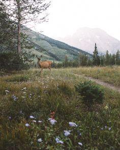 Wyoming Deer - null