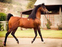The amazing Jullyen El Jamaal - RIP. Arabian stallion.