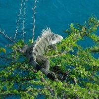 Leguane in freier Wildbahn : Mit dem Leguan unterwegs auf Curacao