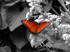 Selective color edit- Butterfly  by Award Photography, via Flickr