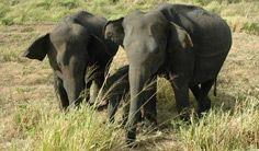Gestresste Elefanten