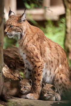 lynx mom with her kittens Big Cats, Cats And Kittens, Cute Cats, Cute Baby Animals, Animals And Pets, Wild Animals, Beautiful Cats, Animals Beautiful, Cat Bobcat