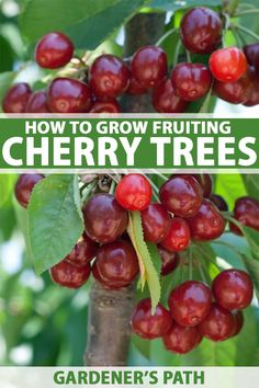 Cherry trees produce delicious fruit and are handsome additions to a landscape. Beautiful in the spring, cherries provide tasty fruit in the summer, and display architectural winter interest. Learn to grow and enjoy this fruit with our guide to growing cherry trees. #cherrytrees #fruittrees #orchards #gardenerspath