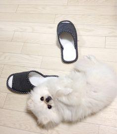 私が部屋の片付けしてる最中、遊んでもらえなくて不満なポメラニアンが、脱いだスリッパを履かせないように邪魔してくるんだけど、... on Twitpic