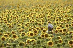 Ajit Singh, 62, a farmer, inspects his sunflower crop in a field at Dharar village on the outskirts of Amritsar May 18, 2009. REUTERS-Munish Sharma-Files