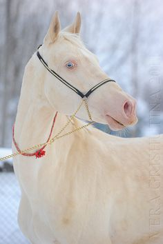 Cremello Akhal Teke These beautiful Cremello or Champagne colors in horses are often times mislabeled as albino; however, there are no true albino horses. What adds to the confusion, is the registry data of certain equine organizations who also use the term albino. A number of breeds share these beautiful pale colors. ♥