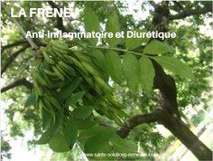 La Frêne, anti-inflammatoire et diurétique