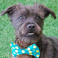 Rick James is a Poodle/Terrier Mix looking for a new forever home in San Mateo, CA! He's available through Peninsula Humane Society & SPCA!