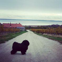 @Regrann from @dr_gubi_the_puli -  Puli with a view  #hungarianpuli #puli #kutya #dog #dogsofinsta #hund #magyar #cute #blackdog #spoileddog #balaton #braveshundi #prettygirl #rastadog #nature #whataview #whataday #autumn #hungary #ilovemydog #petsofinstagram #dogsofinsta #instadog #drgubi #balatonfelvidek #balatonősszel - #regrann Hungarian Puli, Hungary, Pretty Girls, Autumn, Mountains, Dog, Pets, Instagram Posts, Nature