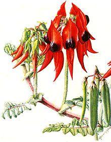 Swainsona formosa - or Sturt's Desert Pea - became the floral emblem of South Australia on 23 November 1961.