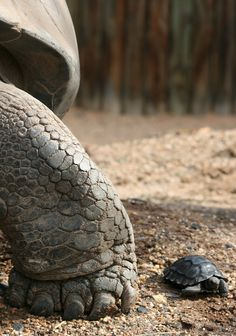 Mother and baby Galapagos Tortoise.