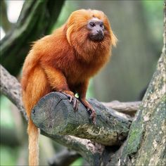 Golden Lion Tamarin by Foto Martien, via Flickr. These tamerin's are endangered and threatened by illegal logging, poaching, mining, urbanization and infrastructure development and the introduction of alien species.