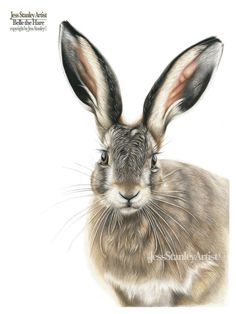 Fudge the rabbit portrait in coloured pencil by Jess Stanley