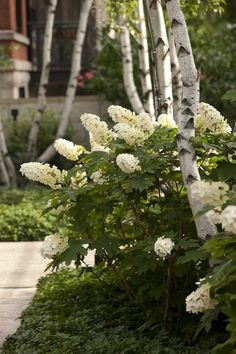 Oak leaf hydrangeas & white birches - try in my front yard to replace overgrown yews Beautiful Gardens, Beautiful Flowers, House Beautiful, Shade Garden, Garden Plants, Landscape Design, Garden Design, Hydrangea Quercifolia, White Gardens