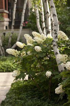 birch and Hydrangeas