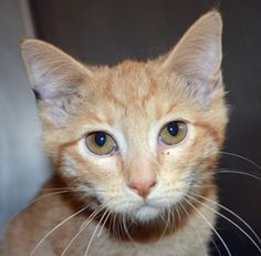 Tucker is an adoptable Domestic Short Hair Cat in Wyoming, MN. Name: Tucker Age: 3-4 months at date of arrival (7/25/2013) Breed: DSH - Orange Tabby How I Arrived At NHS: I was found as a stray an...