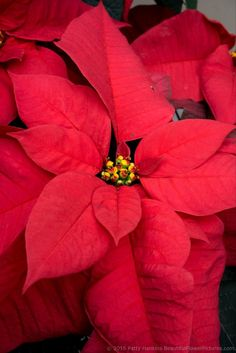 Titan Red Poinsettia © 2015 Patty Hankins