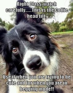 Right Class, watch carefully......This is the Collie head tilt.  Use it when you are trying to be cute and for when you are in begging mode!!