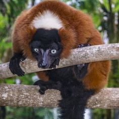 The breeding pair of lemurs were specifically matched and sent to Naples Zoo as part of the Association of Zoos and Aquariums� Species Survival Plan.