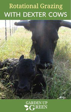 44 best dexter cattle images cow mini cows homestead farm rh pinterest com