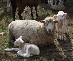 Rob and I visited a friend's farm a few days ago. We took photographs of the new born lambs and proud ewes, who were very willing subjects. As our camera clicked away, they provided us with t…