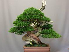 Mario Komsta bonsai