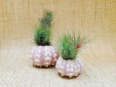 Purple-Sea-Urchin-with-Funckiana-Air-Plant