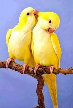Lutino Quaker Parrots