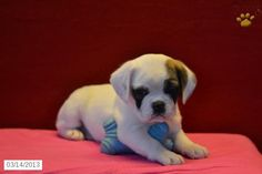 This puppy is half English bulldog and half puggle (pug and beagle mix). It may be the cutest puppy I've ever seen I want one soooo bad!!!!!!