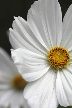 Cosmos bipinnatus (Sonata Series) 'Sonata White', photographer Rachel Myers. A dwarf annual up to 60cm with delicate linear foliage.  Flowers July-October with regular deadheading.