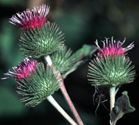Common burdock flower heads showing velcro-like spines. otherwise known as -- cockleburs!