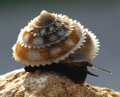 The Featured Creature: rare Cuban snail
