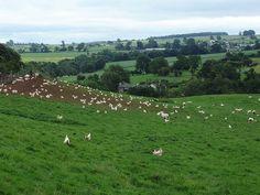 Free range chicken farming
