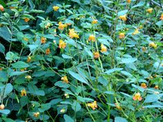 """""""The Herb Walk: 10 Herbs [We May] Need to Know[… i.e. This Jewelweed as a remedy for Poison Ivy…]"""" -free share via Learning Herbs site"""