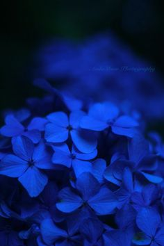 In the purple night… by AndoShow / Kind Of Blue, Love Blue, Blue And White, Blue Aesthetic Dark, Aesthetic Colors, Blue Pictures, Blue Wallpapers, Blue Flowers, Blue Hydrangea