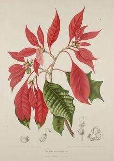 Poinsettia Botanical Illustration  Berthe Hoola Van Nooten [1880]