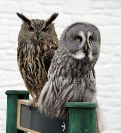The Owl Man