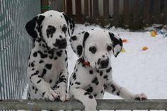 Hund - Dalmatiner / Dog - Dalmatian