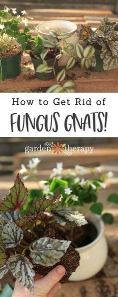 Prevent and get rid of fungus gnats the natural way #gardening #indoorplants #soil #gardenDIY #organicgardening #houseplants