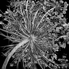 Queen Ann's Lace New by Lisa Goesling. Clayboard.