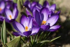 My Dream Field !: February Birth Flower - the Violet or Primrose, , Birt Flower Tattoos,